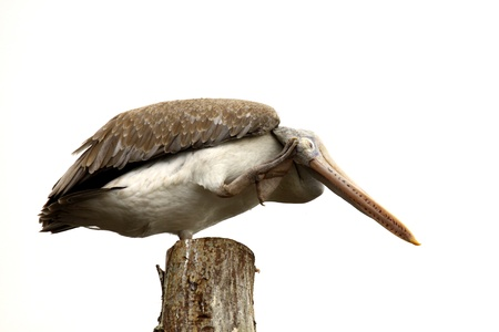 Pelican on a Wooden Stump scratching head Stock Photo - 14384507