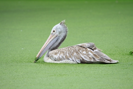 Pair Pelican in water with green plant photo