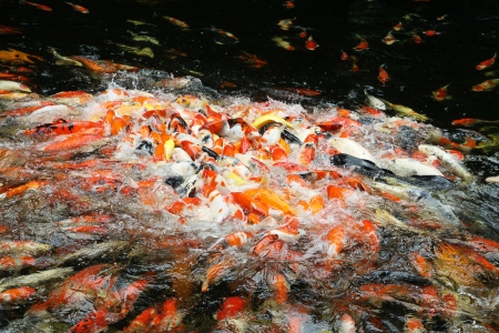 Hundreds of fancy carp koi fish eating  Stock Photo - 14384567