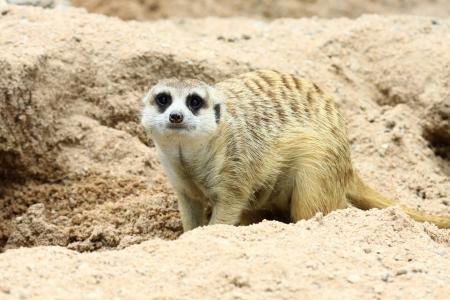 erdmaennchen: meercat