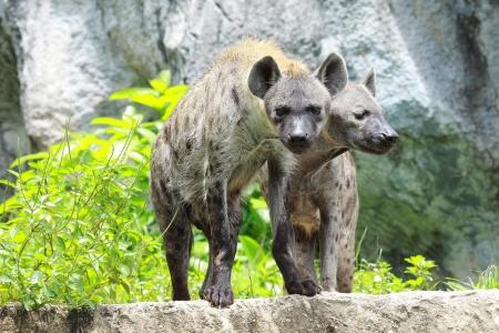 scavenge: hyena Stock Photo