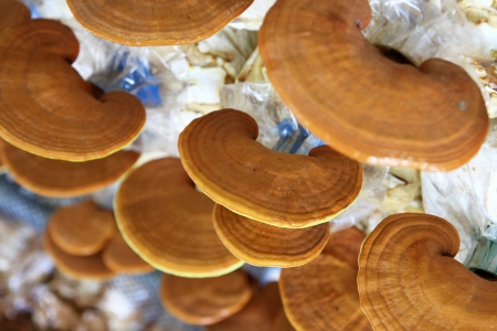 Ganoderma lucidum in the mushroom farm 90 days