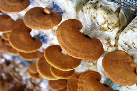 lucidum: Ganoderma lucidum in the mushroom farm 90 days