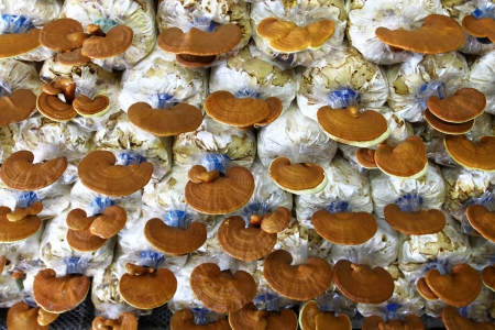 Ganoderma lucidum in the mushroom farm 90 days photo