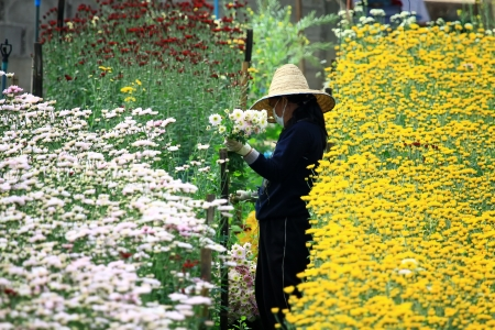 Workers cut flowers in the garden at Chiang Mai Thailand photo