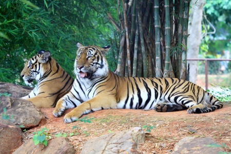 Two tiger relax on the floor photo