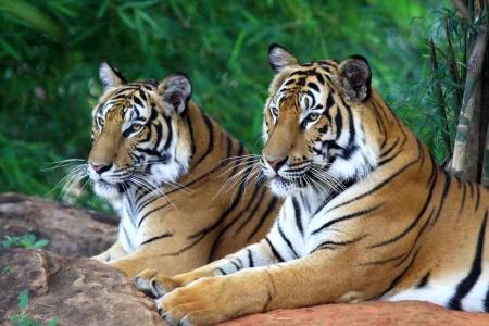 Dos tigre buscando algo en la roca Foto de archivo
