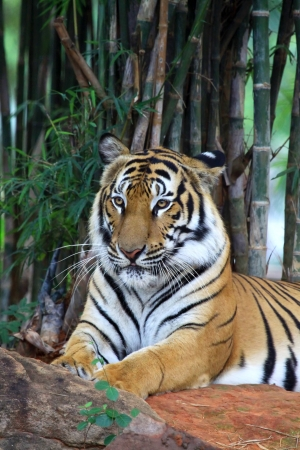 Tiger with background bamboo tree photo