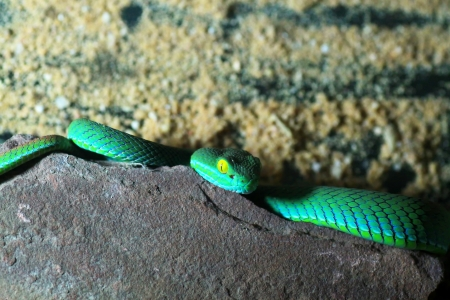 limbless: snake  green pit viper  on the wall Stock Photo