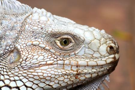 Close up the eye of  iguana Stock Photo