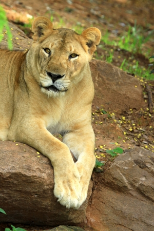 African lion staring in nature  photo