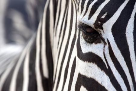 얼룩말의 눈은 줄무늬에 숨겨진 스톡 콘텐츠