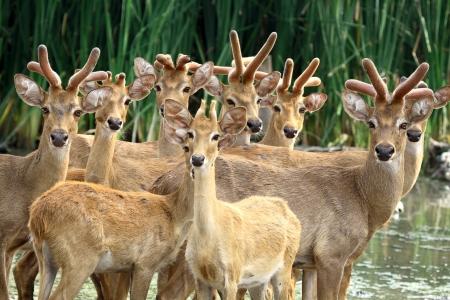 herbivore: A group of deer looking camera