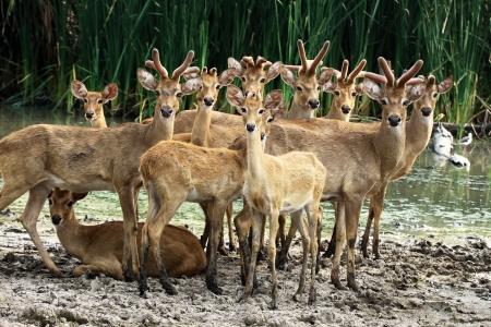 herd deer: A group of deer looking camera