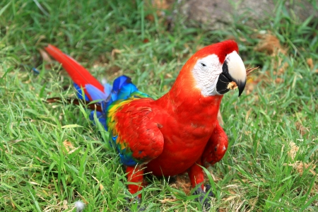Macaw coloe red on the floor photo