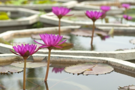 effloresce: Violet blossom water lily and green leaf in the basin