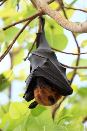pteropus: Pteropus vampyrus (large flying fox) in Thailand