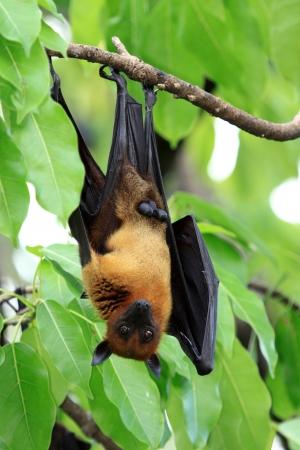 pteropus: Pteropus vampyrus (large flying fox) on tree in Thailand