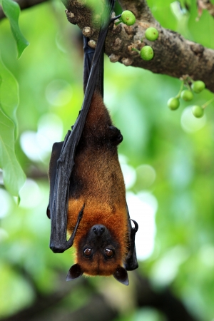 greater: Bat hanging on a tree branch Malayan bat