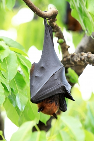 greater: Pteropus vampyrus (large flying fox) in Thailand