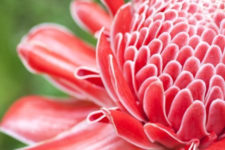 close in: Close up etlingera elatior flower color red in nature