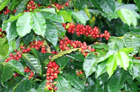 coffee harvest: Coffee beans ripening on tree in North of thailand Stock Photo