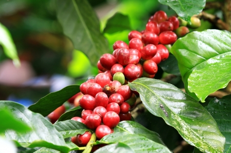 Coffee beans ripening on tree in North of thailand photo