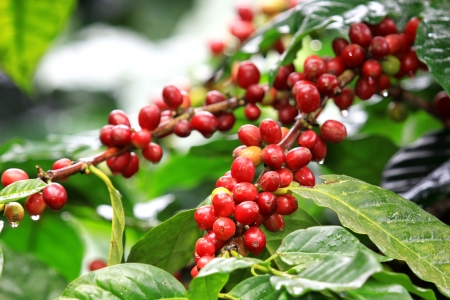food and drink industry: Coffee beans ripening on tree in North of thailand Stock Photo