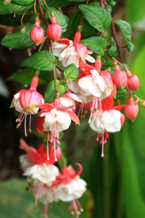 Gorgeous blooming fuchsia in nature photo