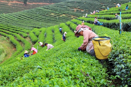 Choui Fong tea plantation. Chiang Rai,THAILAND - DEC 24: Women picks tea leafs on the famous Choui Fong tea garden during the winter season on Dec 24, 2012. The majority of the local population are hill tribes. Thailand