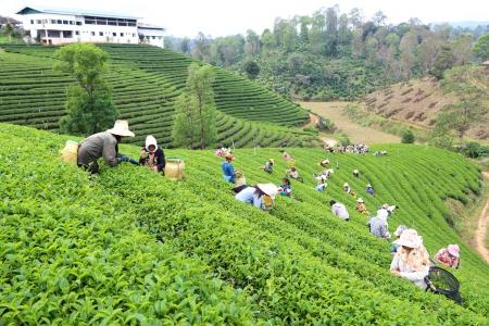 tea breaks: CHIANG RAI, THAILAND - DEC 24: Women from Thailand breaks tea leaves on tea plantation on December 24, 2012 on a tea plantation at Chui Fong , Chiang Rai, Thailand.  Editorial