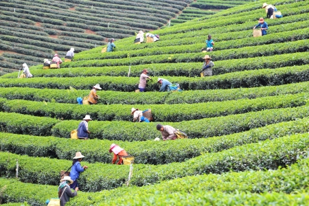 CHIANG RAI, THAILAND - DEC 24: Women from Thailand breaks tea leaves on tea plantation on December 24, 2012 on a tea plantation at Chui Fong , Chiang Rai, Thailand.  Editorial