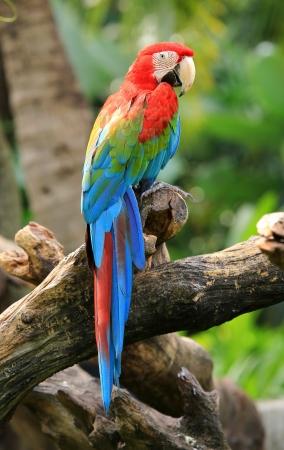 papagayo: hermosa guacamaya