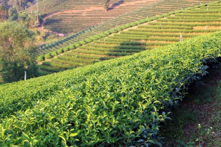 Tea garden in Thailand Stock Photo - 17338742