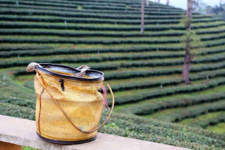 Tea bushes and a traditional basket used by tea-pickers on an upcountry tea estate in north of Thailand photo