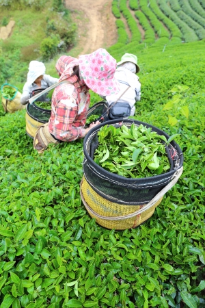 CHIANG RAI, THAILAND - DEC 24: Woman from Thailand breaks tea leaves on tea plantation on December 24, 2012 on a tea plantation at Chui Fong , Chiang Rai, Thailand.