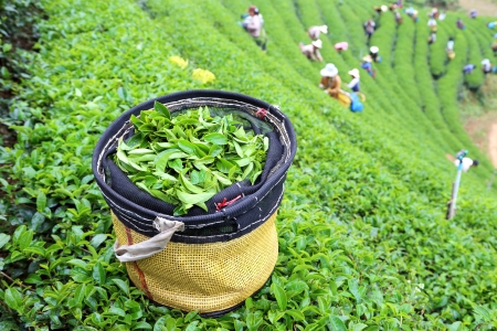 green tea plantation landscape in Thailand