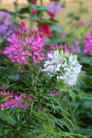Cleome spinosa  photo