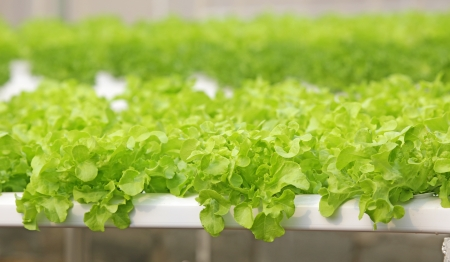 Hydroponic vegetable is planted in a garden Stock Photo - 17750331