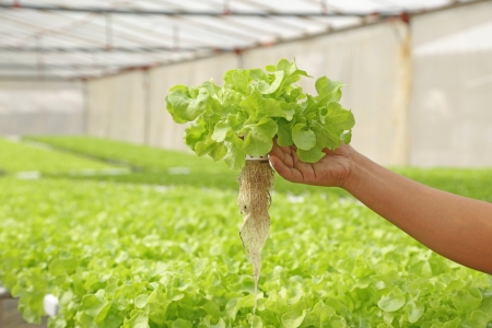 Fresh hydroponic vegetable on hand  in a garden