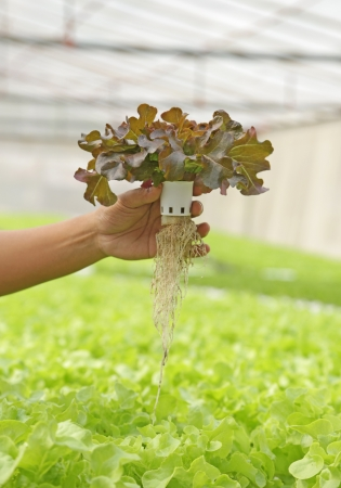Hydroponic vegetable is planted in a garden Stock Photo - 17750326