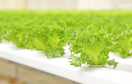 Hydroponic vegetable is planted in a garden   photo