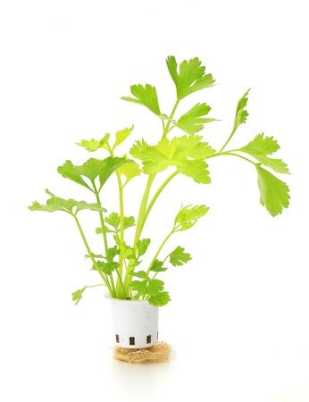 Hydroponic celery vegetable on white background photo