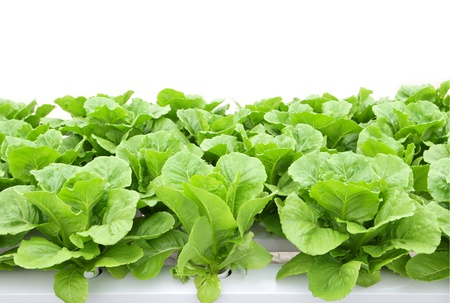 cos: Hydroponic vegetable (Green Cos) in farm