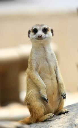 suricate: Meerkat or Suricate, Suricata suricatta Stock Photo