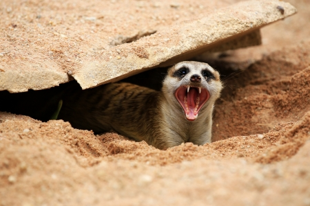 suricata suricatta: Meerkat  open mouth and visible teeth  Stock Photo