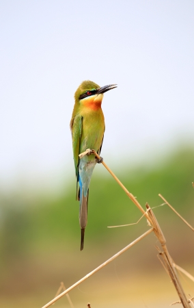 Blue Tailed Bee Eater  photo