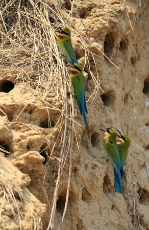 Pair of blue Tailed Bee Eater  photo