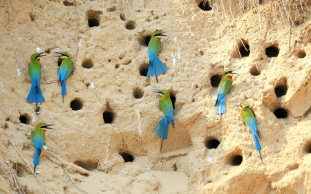 Group of blue Tailed Bee Eater  photo