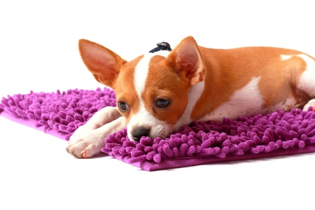Chihuahua looking something on carpet color purple photo